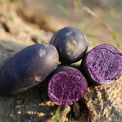 Las semillas de papa, 100 piezas Vegetable Seeds Fácil de planta que crece rápida germinación rápida Negro Piel púrpura Carne semillas de papa raro para jardinería Ideal regalo al aire libre