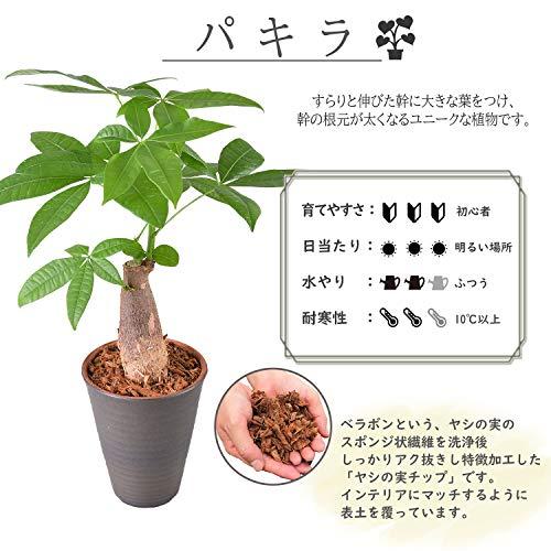 花のギフト社パキラ発財樹4号陶器鉢植え観葉植物インテリアグリーン