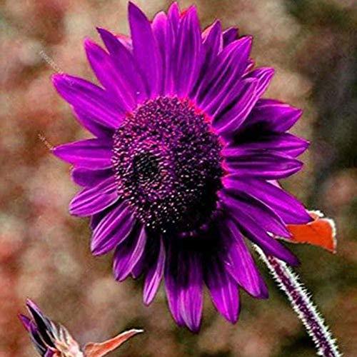 TOYHEART 50 Pezzi Semi Di Fiori Premium, Semi Di Girasole Viola Piante Fiorite Perenni Vasi Da Fiori Semi Da Giardino Per Giardino Semi di girasole