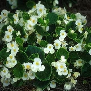 Outsidepride Wax Begonia Semperflorens White Plant Seed - 5000 Seeds