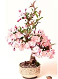 Zoom IMG-1 ciliegio ornamentale giapponese fiori di