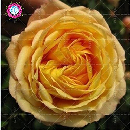 100pcs/Sac noir Baccara Hybrid Rose Arbuste Graines de fleurs, des plantes Accueil Jardin Rose Fleur exotique True Blood frais Bonsai usine 8 Facile