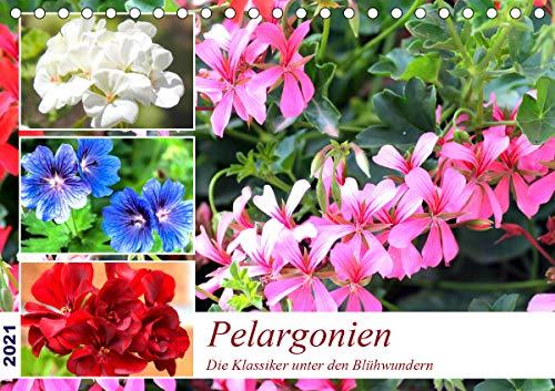 Pelargonien. Die Klassiker unter den Blühwundern (Tischkalender 2021 DIN A5 quer)