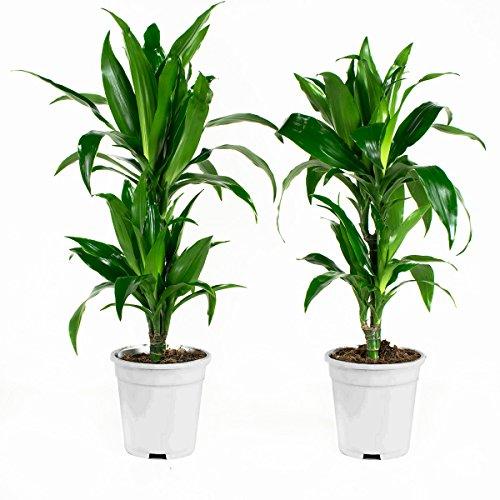 Plantes d'intérieur de Botanicly – 2 × Dragonnier – Hauteur: 65 cm – Dracaena fragr. janet craig