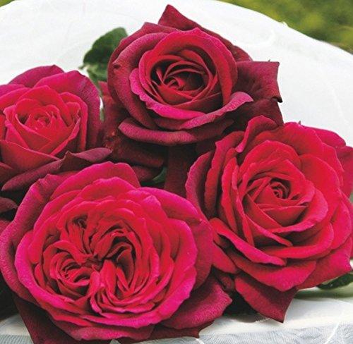 'Gräfin Diana' -R-, Duft-Edelrose, ADR-Rose, A-Qualität Wurzelware