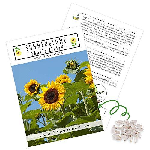 Farbenfrohe Sonnenblumen Samen mit hoher Keimrate - Blumensamen für einen bunten & bienenfreundlichen Garten (1x Sanfte Riesen, bis zu 3 Meter hoch!)
