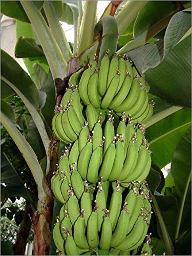 Semences et fermes - Nain Cavendish Banana - 10 graines