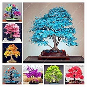 Potseed Keimfutter: Mix: Rare 20 Maple Samen Maple japanischen Baum Ahornsamen Heim & G