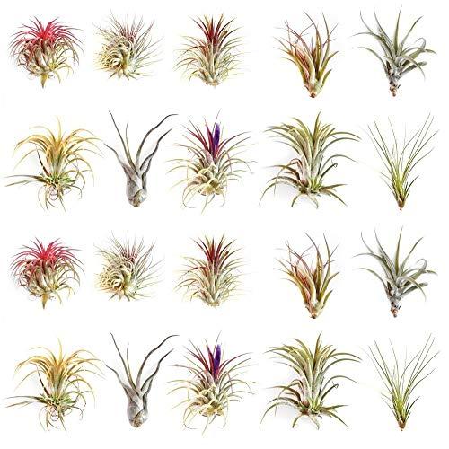Ecoworld Tillandsien, Luftpflanzen - 20 Stück - 10 Verschiedene Pflanzen