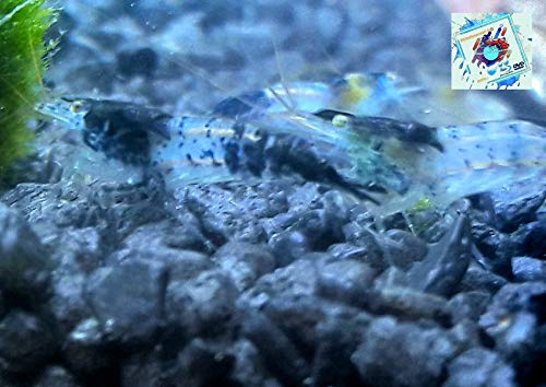 Topbilliger Tiere Blue Carbon Rili Garnele - Neocaridina davidi 10x