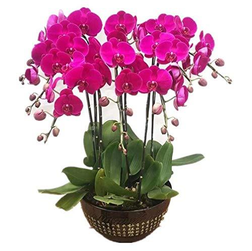 Lila Schmetterling Orchideensamen 20 Stück (Phalaenopsis aphrodite) Bio-Motte Orchideenblüte Frische Premium-Samen zum Pflanzen von Garten Innenhof