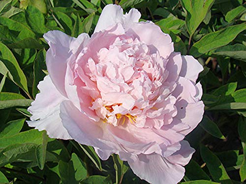 Peony Roots Cute Garden Magical Rare Species Resistant Courtyard Perennial,1 Peony Root