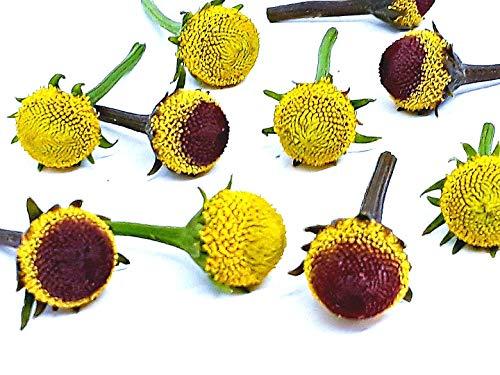 Szechuan Flowers,Paracress (Buzz Buttons) Acmella oleracea: 50/50...