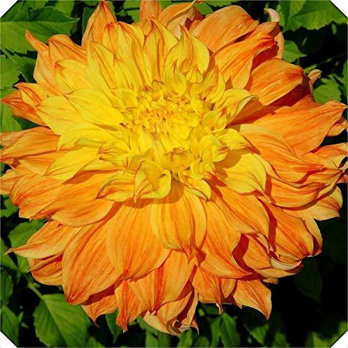 Bulbo De Dalia Hermosas Dalia De Perenne Perenne Bulbos De Flores Bonsai Plant Diy Home Garden-naranja,3bulbos