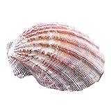 ZJSXIA 12-17 cm Líves Naturales Marrones Concha de cáscara de Caracol Conchas de Caracol Conchas de mar DIY Playa Decoraciones de Boda Adornos de Acuario Caracoles de mar
