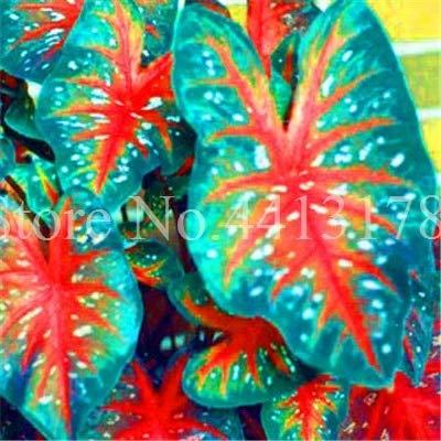 100st Hot Koop Thailand Caladium Bicolor Bonsai Balkon Rare Verbrande Rose Ear Flower Perennial Kruiden Plant Huis & Tuin: 4