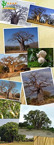 2 graines graines graines de bonsaï baobab africain (Adansonia digitata) Grande qualité bricolage maison jardin