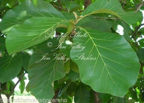 Tectona grandis Teck arbre Graines Aromatique Petit Blanc Blooms intérieur ou extérieur (10 graines)