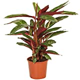 Planta de Interior Calathea Stromanthe Magicstar para el Hogar o la Oficina (30-40cm Maceta Incluida)