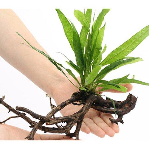 (水草)ミクロソリウム プテロプス ソードリーフ 付 枝状流木 Mサイズ(1本)(約20cm~)