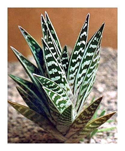 Aloe variegata - Tigeraloe - Papageienaloe - 5 Samen