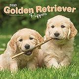 Golden Retriever Puppies - Golden Retriever-Welpen 2020 - 16-Monatskalender mit freier DogDays-App: Original BrownTrout-Kalender [Mehrsprachig] [Kalender] (Wall-Kalender)