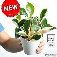 LAND PLANTS ホヤ カルノーサ 白色プラスチック鉢セット 4号サイズ サクララン リップカラー ホヤカルノーサ