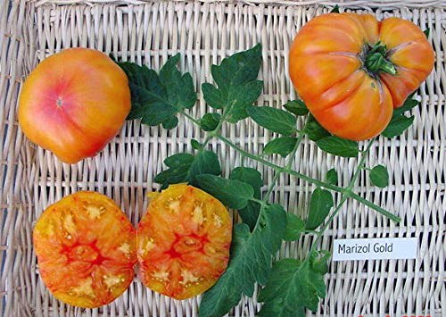 【SEED】Heirloom TomatoR Marizol Gold エアルーム・トマト・マリゾル・ゴールド(15 seeds)