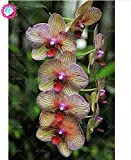 Semillas de flores de orquídeas 100PCS-semilla para las semillas de orquídea Phalaenopsis jardín casa para estudiar en casa de compra-directo desde China-orquidea semente 11