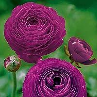 ラナンキュラス球根,美しい歴史的な花,春咲きのラナンキュラス。-紫,3球根