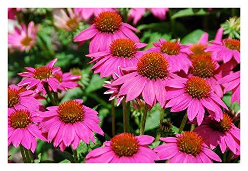 3 x Echinacea purpurea 'PowWow Wild Berry' (Scheinsonnenhut) ab 2,99 € pro Stück