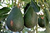 Live Plant Avocado Dwarf (Little Cado) Grafted Plant Get 1 Plant #BSG01YN