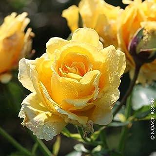 Kölle's Beste! Kletterrose 'Sommergold ®' ist eine Leuchtend goldgelbe..