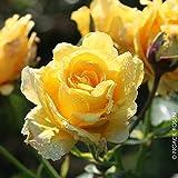Kölle's Beste! Kletterrose 'Sommergold ®' ist eine Leuchtend goldgelbe und duftende Rose aus...