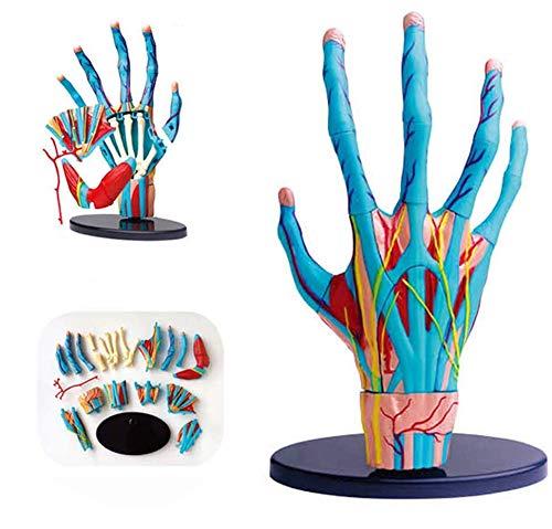 Menschliche Hand Joint Muskel-Modell - medizinische anatomische Modell des Handskeletts - Fügen Sie Vascular Ligamentum Muskelfunktion - für Medizinische Ausbildung Ausbildung,Puzzle Montage Spielzeug