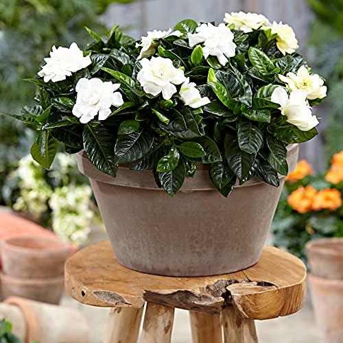 Gardenia jasminoides | Gardenie | Duftende weiße Blüten | Höhe 25-30 cm | Topf-Ø 13 cm