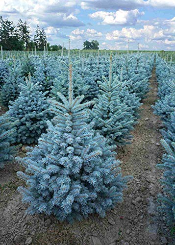 Abete Picea Pungens'Super Blue Seedling' in vaso 9x9 cm