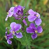 Violet février orchidée graines 50 + violet cresson Orychophragmus fleur beau jardin bonsaï balcon fleur orchidée...