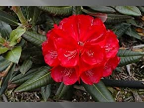 RHODODENDRON 'CHERRIES AND MERLOT' - STARTER PLANT