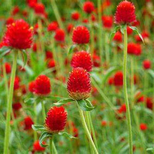 Semillas de Flor Roja de Amaranto Globo 30+ (Gomphrena Globosa) Té de Verduras Orgánico Fácil de Cultivar para Jardín de Bonsai Plantación de Interior al aire libre
