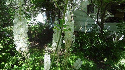 100 + Cimicifuga Samen, Traubensilberkerze, Fee Kerzen, Silberkerze, Weiss Perennial Blumen