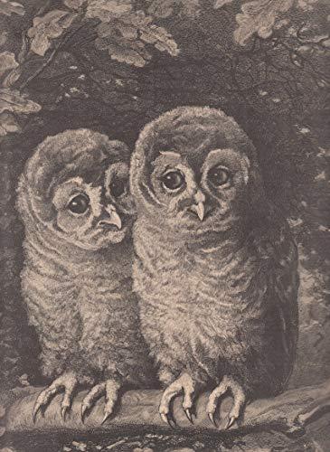 Tiere - Eulen. Ansicht eines Eulenpaares in einer Eiche sitzend. [Grafik]