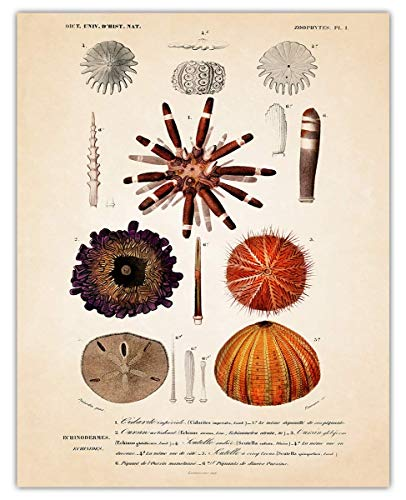 Vintage Sea Urchin Wall Art Print - (11x14) Photo Unframed Make Great Room Wall Decor Gift Idea Under $15