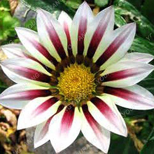 100PCS rares multi-couleurs chrysanthème Graines Bonsai vivace Fleurs Belle Graines de fleurs Plantes en pots pour jardin 20