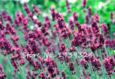 ! 100 Pcs/Lot Lavender Seeds, Beautiful Flower Seeds,Very Fragrant,Lavender Plant For Home Garden Planting