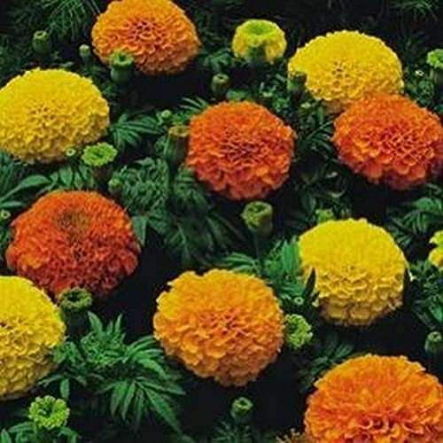 Nice Days(ナイス ディズ)100pcs マリーゴールド シード 種 高発芽率 ホームガーデン 装飾