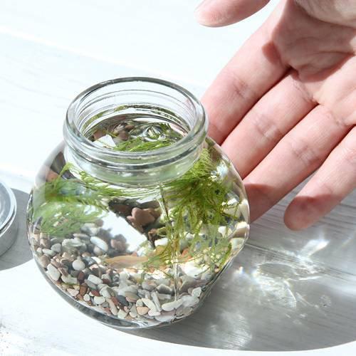 (熱帯魚 水草)私の小さなアクアリウム ゴールデンアカヒレボトルセット ~マツモとウィローモス~(1セット)説明書付 本州・四国限定[生体]