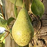 Birnen Baum 'Gute Luise' Pyrus com. Birnenbaum im 7,5L Topf 150-200cm winterharter Obstbaum