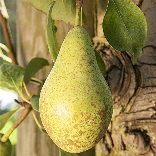 "Birnen Baum""Gute Luise"" Pyrus com. Birnenbaum im 7,5L Topf 150-200cm winterharter Obstbaum"
