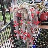 Semillas de Flores-10Pcs / Bolsa Hildewintera Colademononis Semillas Impresionante Buena cosecha Flores rojas Excelente producción Semillas de cactus de cola de mono para exteriores - Semilla